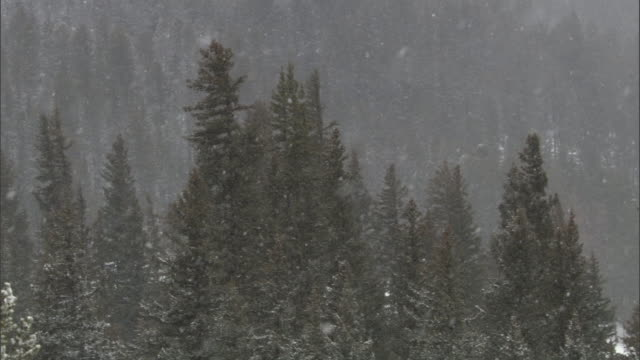 Snow falls onto conifer forest, Yellowstone, USA