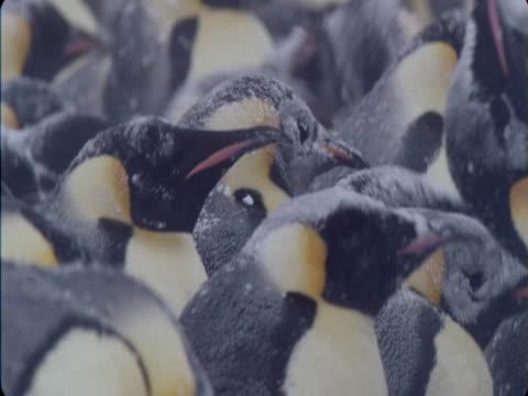 snow falls onto emperor penguins in colony. - flightless bird stock videos & royalty-free footage