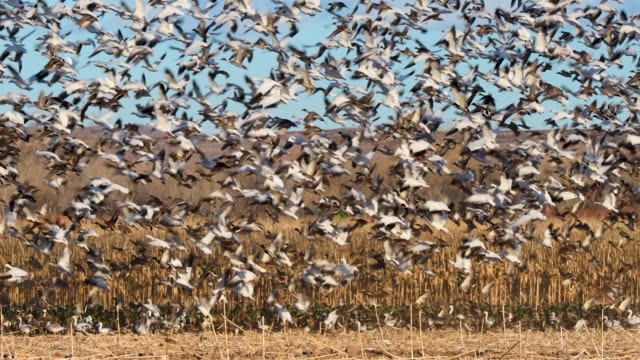 snow geese and ducks explode into flight at bosque del apache nwr - bosque del apache national wildlife reserve stock videos & royalty-free footage