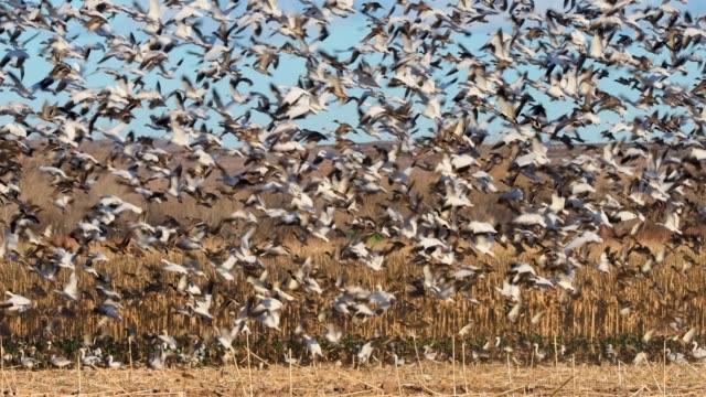雪のガチョウとアヒル ボスケデル apache nwr で飛行に爆発します。 - 雁点の映像素材/bロール