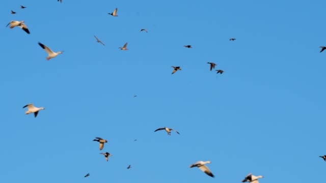 snow geese and ducks landing at bosque del apache nwr - bosque del apache national wildlife reserve stock videos & royalty-free footage