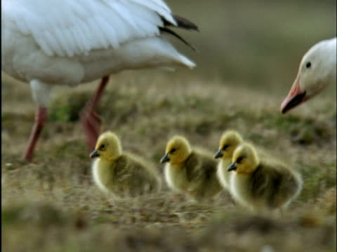 snow geese and goslings on tundra, banks island, canada - medium group of animals stock videos & royalty-free footage