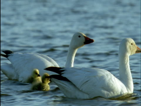 snow geese and goslings on tundra lake, banks island, canada - medium group of animals stock videos & royalty-free footage