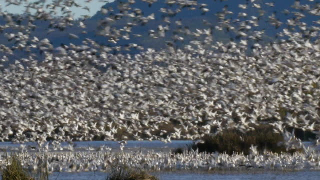 snow geese at gray lodge wildlife area in the central valley of california, part of the pacific flyway - uccello video stock e b–roll