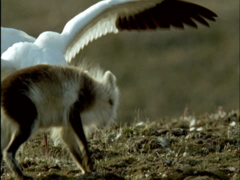 snow geese chase arctic fox away from nest on tundra, banks island, canada - oca uccello d'acqua dolce video stock e b–roll