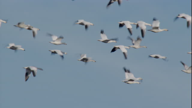 Snow Geese flutter against a muted blue sky. Available in HD.