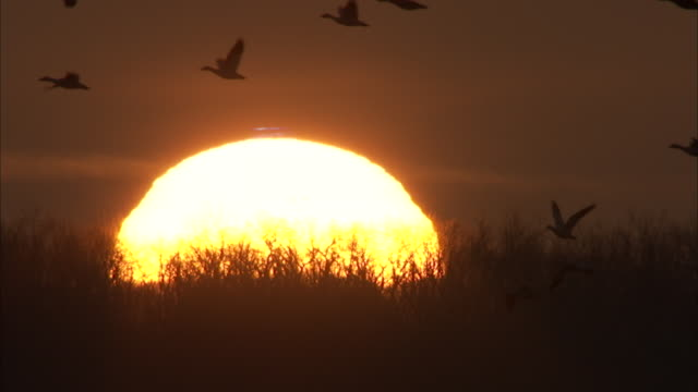 snow geese fly past a setting sun. - water bird stock videos & royalty-free footage