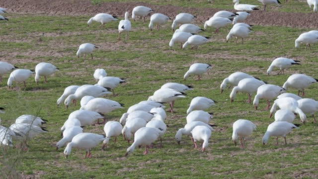snow geese foraging in an open field of grass - oca uccello d'acqua dolce video stock e b–roll