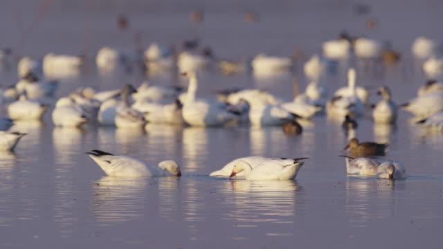 snow geese foraging in water sunset_ms_merced_wildlife_refuge - 雁点の映像素材/bロール