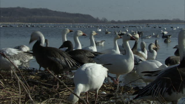 stockvideo's en b-roll-footage met snow geese gather on the muddy banks of a lake and forage. - foerageren