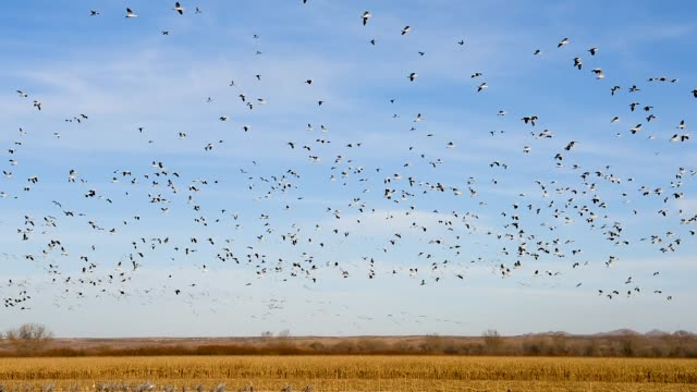 snow geese in flight over bosque del apache nwr - bosque del apache national wildlife reserve stock videos & royalty-free footage