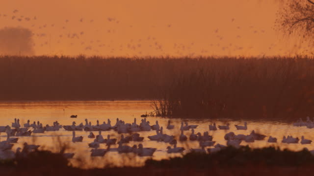 Snow Geese  In Water Sunset_WS_MERCED_WILDLIFE_REFUGE