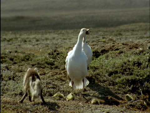 snow geese try to protect their goslings from arctic fox, banks island, canada - oca uccello d'acqua dolce video stock e b–roll