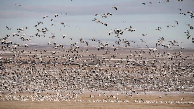 snow geese - flock of birds stock videos & royalty-free footage