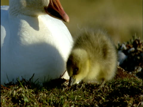 snow goose and gosling in nest on tundra, banks island, canada - gosling stock videos & royalty-free footage