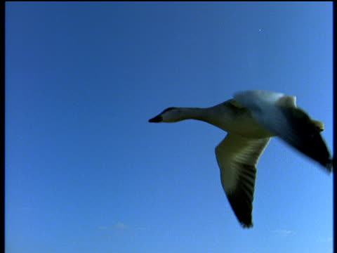 snow goose flying in clear blue sky zoom in to feathered body and feet - goose stock videos & royalty-free footage