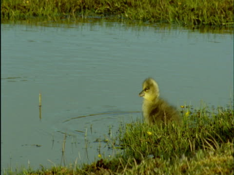 snow goose gosling swims on tundra, banks island, canada - young animal stock-videos und b-roll-filmmaterial