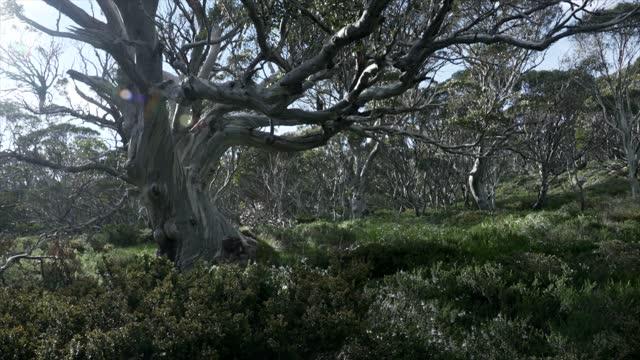 snow gums in kosciusko national park - tropical tree stock videos & royalty-free footage