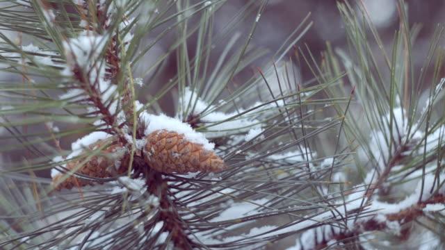 La neige dans la forêt de pins