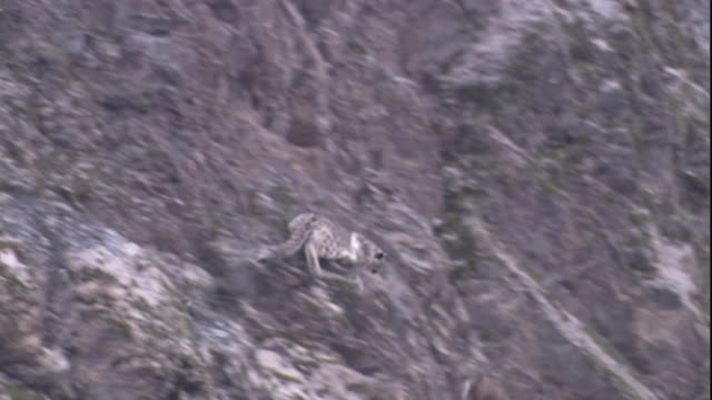 a snow leopard chases a markhor down a steep mountainside and catches it briefly, before it escapes into a river. the first snow leopard hunt to be captured on film. available in hd. - djur som jagar bildbanksvideor och videomaterial från bakom kulisserna