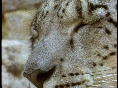 vidéos et rushes de snow leopard closes eyes tight then looks directly into camera - à pois