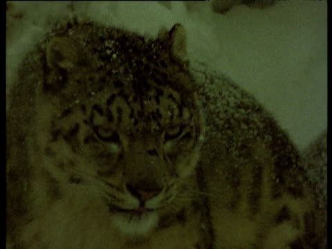 vídeos de stock e filmes b-roll de snow leopard digs at frozen carcass and licks lips, himalayas - pelagem de animal