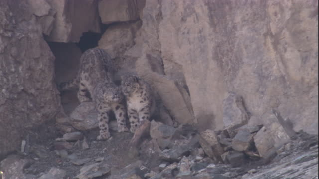 a snow leopard emerges from a den and greets another. available in hd. - burrow stock videos & royalty-free footage