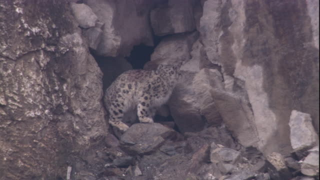 A snow leopard enters its den. Available in HD.