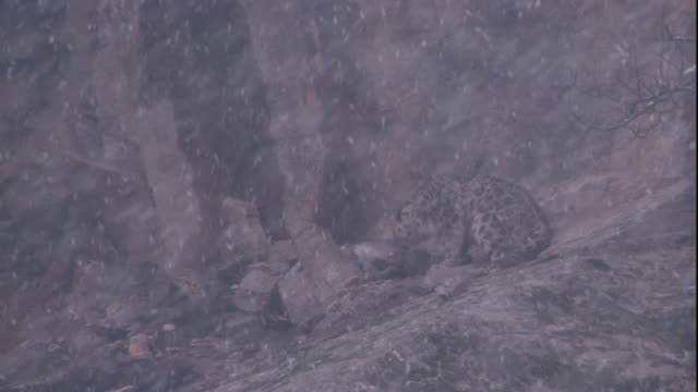 A snow leopard feeds on a markhor carcass as snow falls. Available in HD.