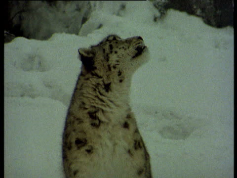 vídeos de stock e filmes b-roll de snow leopard looks around and above it, himalayas - pelagem de animal