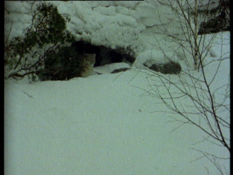 vídeos de stock e filmes b-roll de snow leopard lunges out of shelter into snow, himalayas - pelagem de animal