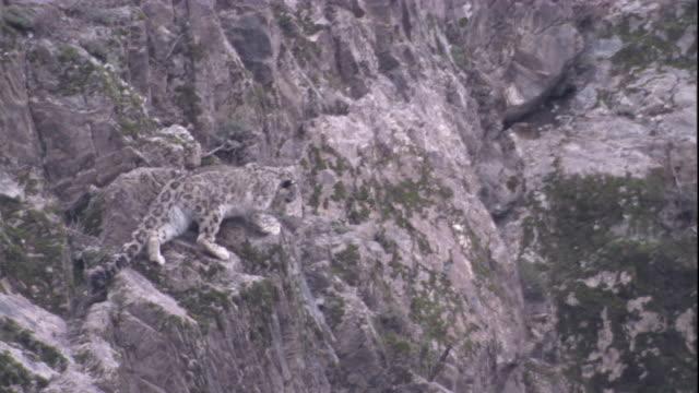 vídeos de stock, filmes e b-roll de a snow leopard negotiates a steep rocky mountainside. available in hd. - peitoril de janela