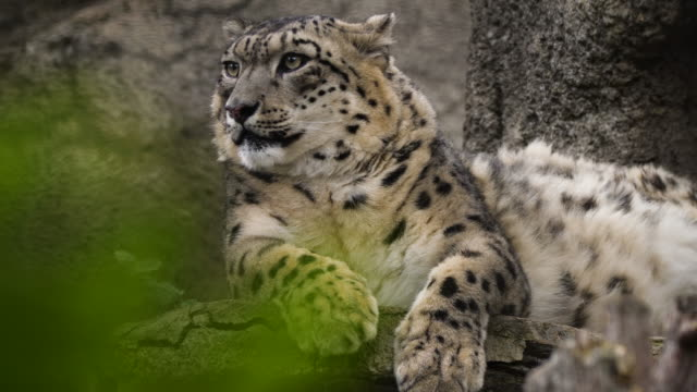 snow leopard (panthera uncia) - russia - paw stock videos & royalty-free footage