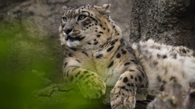 ユキヒョウ (パンテラ・ウンシア) - ロシア - 動物の足点の映像素材/bロール