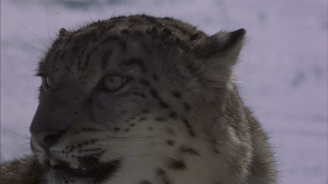 A snow leopard tosses its head, bares its teeth, snarls and sniffs the air.