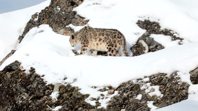 snow leopard walking along a rocky ledge - ledge stock videos & royalty-free footage