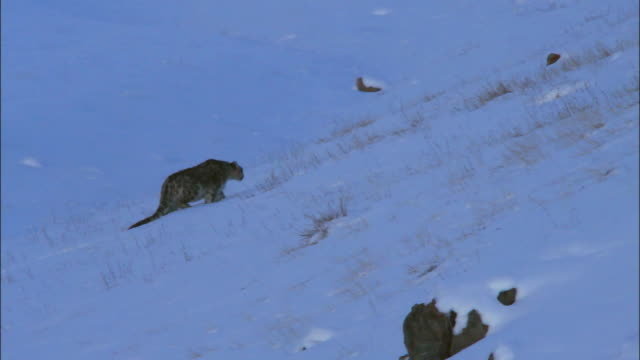 snow leopard walking in the snow at altai mountains - leopard stock videos & royalty-free footage