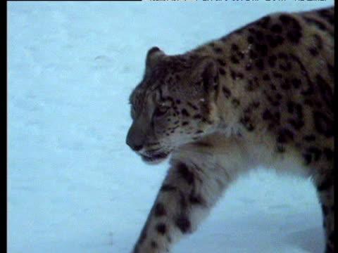 snow leopard walks down snowy slope, pamir mountains, tadzhikistan - 動物の色点の映像素材/bロール