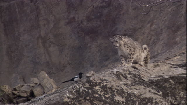 a snow leopard watches magpie intently. available in hd. - elster stock-videos und b-roll-filmmaterial