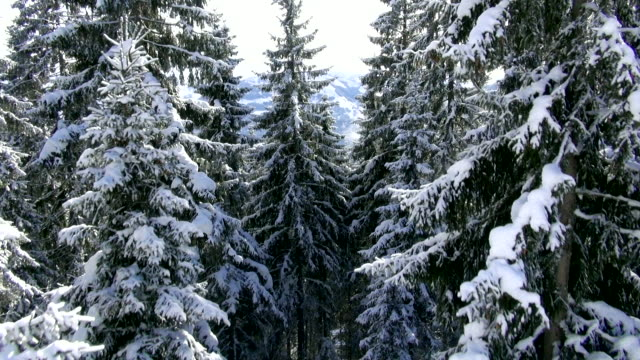 vidéos et rushes de snow lies on the branches of tall conifers. - bo tornvig