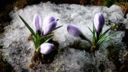 Snow melting and crocus flower blooming in spring