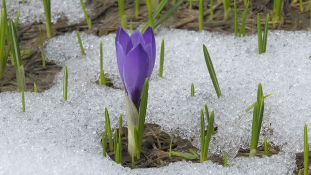 snow melting, crocus opening