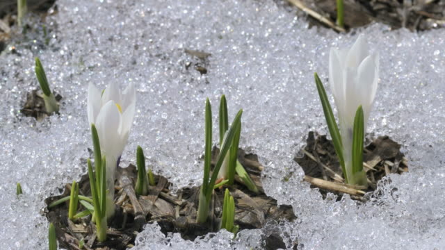 snow melting, crocuses opening - frühling stock-videos und b-roll-filmmaterial