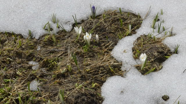 snow melting, crocuses opening - melting stock videos & royalty-free footage