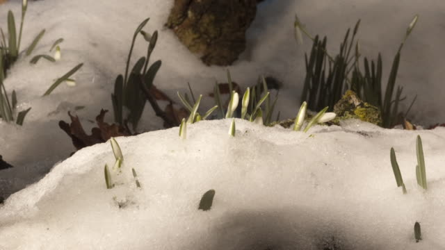 snow melts and reveals snowdrop flowers. available in hd. - snow stock videos & royalty-free footage