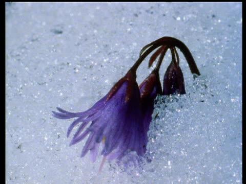 vidéos et rushes de snow melts to reveal purple snowbell flowers - émergence