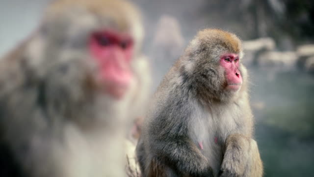snow monkey in his natural habitat - hot spring stock videos & royalty-free footage