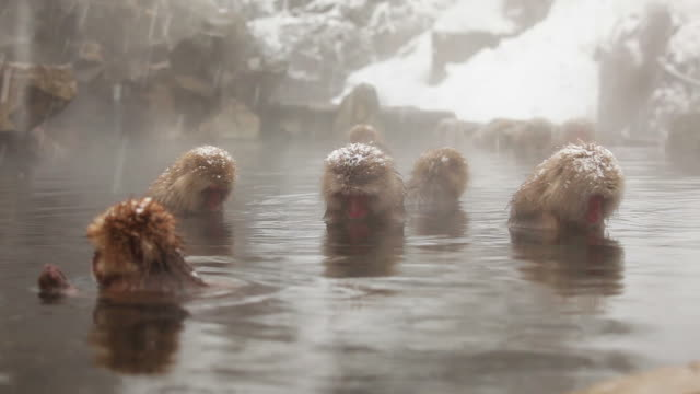 snow monkey (japanese macaque) in hot spring - hot spring stock videos & royalty-free footage