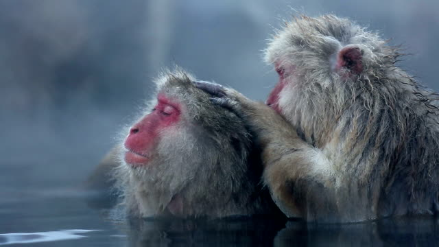 hd: snow monkey japanese macaque family in onsen hot spring - hot spring stock videos & royalty-free footage