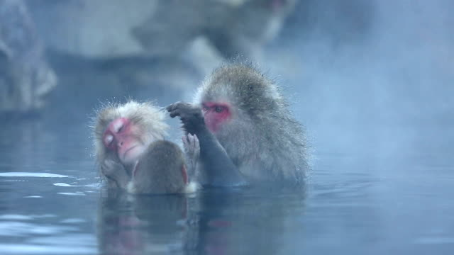 HD: Snow Monkey Japanese Macaque family in Onsen Hot Spring